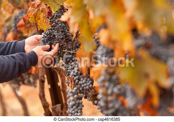 Farmer Inspecting His Ripe Wine Grapes - csp4616385