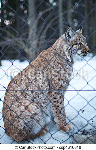 Close-up portrait of a captive Eurasian Lynx (Lynx lynx) on a snowy winter day - csp4618018