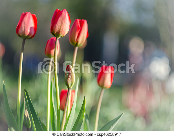 red tulips with blurred background - csp46258917