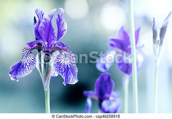 violet iris on blurred background - csp46258918