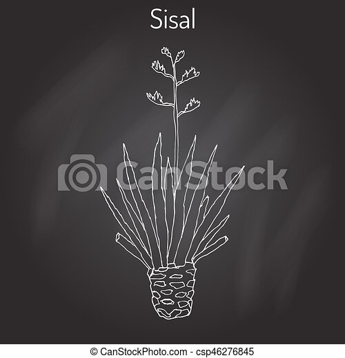 vector planta fibra sisalana sisal agave