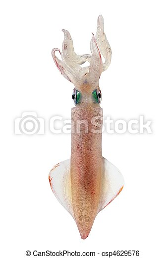 alive squid seafood isolated on white - csp4629576