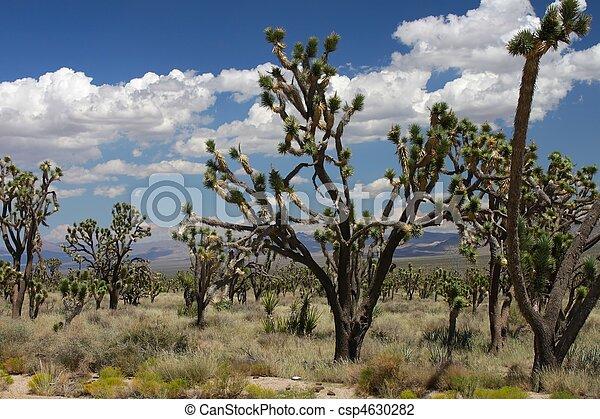 Joshua Trees in the Mojave Desert - csp4630282