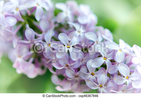spring fresh lilac flowers with blurred backgroud - csp46367846