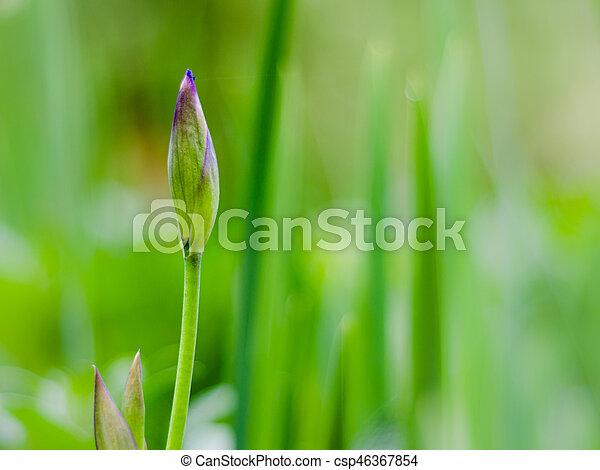 burgeon of blue iris with blurred green background - csp46367854