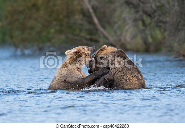 Two Alaskan brown bears playing - csp46422280