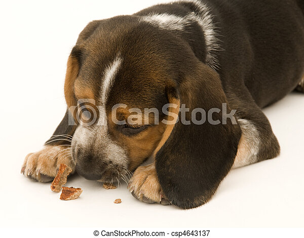 Beagle Eating Treat - csp4643137