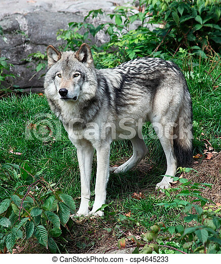 Gray Wolf - csp4645233