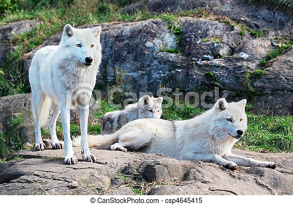 Family of Arctic Wolves - csp4645415