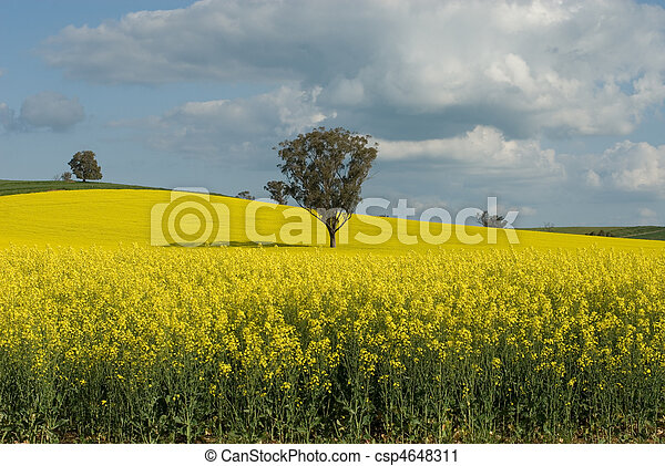 Flowering Canola Field - csp4648311