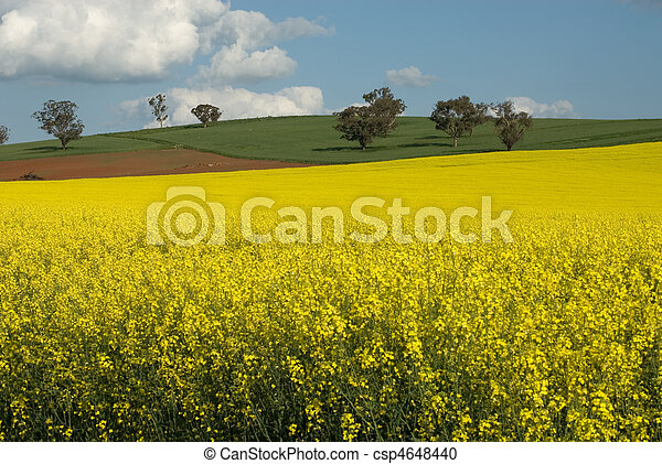 Flowering Canola Field - csp4648440