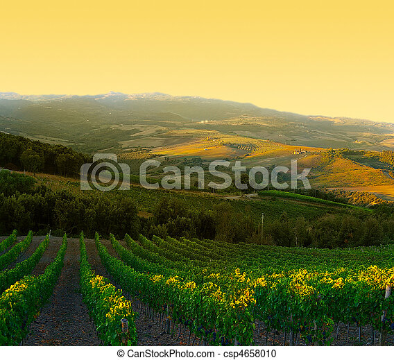 Vineyard with ripe purple grapes at sunrise in Tuscany, Italy - csp4658010