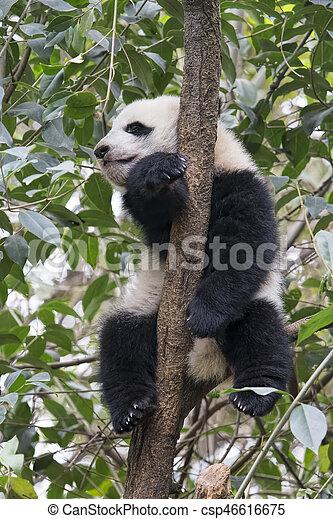 Baby Giant Panda resting in a tree Chengdu, China - csp46616675