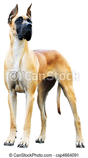 Great Dane Dog - csp4664091