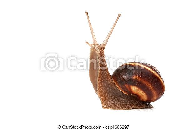 snail - csp4666297