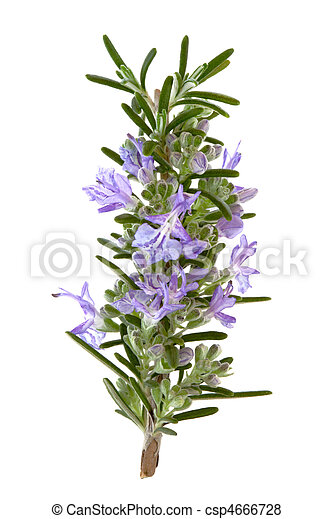 Rosemary Herb Flowers - csp4666728