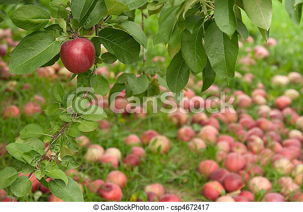 Apple on a branch in autumn orchard - csp4672417