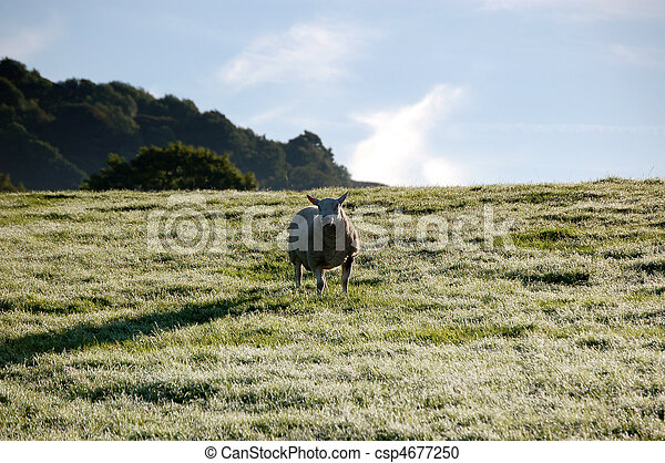 One sheep in a frosty field - csp4677250