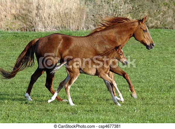 horse with foal - csp4677381