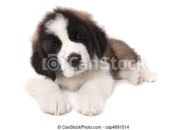 Adorable Saint Bernard Puppy Lying Down on White Background - csp4691514