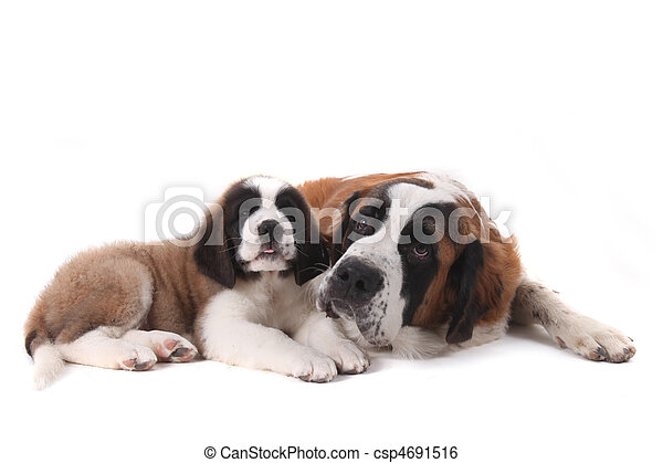Two Loving Saint Bernard Puppies Together on a White Background - csp4691516