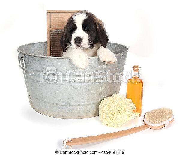 Saint Bernard Puppy in a Washtub for Bath Time - csp4691519