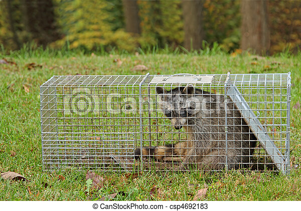Trapped Raccoon, Procyon lotor - csp4692183