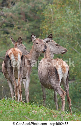 Red deer hinds - csp4692458