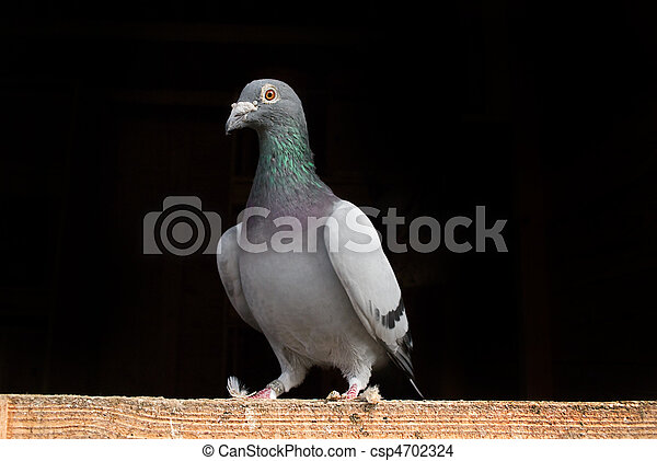 Racing Pigeon perched on wood. - csp4702324