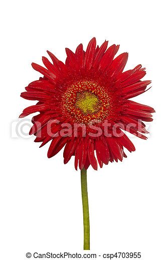 flower nature garden botany daisy bloom - csp4703955