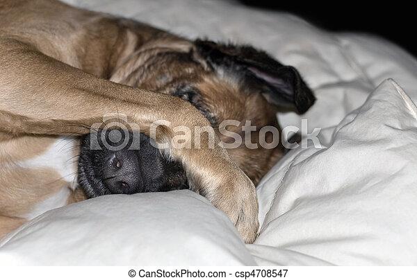 Dog Hides Behind Paw - csp4708547