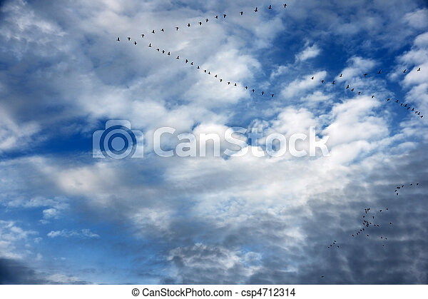 Geese in flight formation and beautiful sky - csp4712314