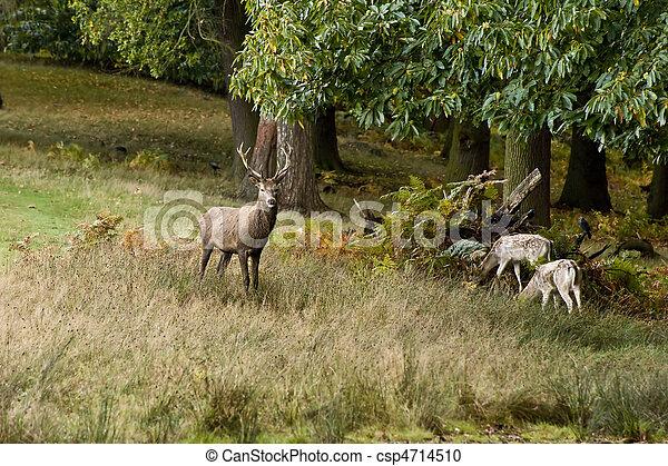Majestic red deer during rut season October Autumn Fall - csp4714510