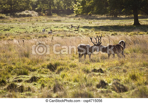 Majestic red deer during rut season October Autumn Fall - csp4715056