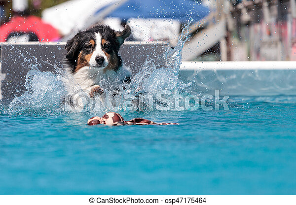 Border collie swims with a toy - csp47175464