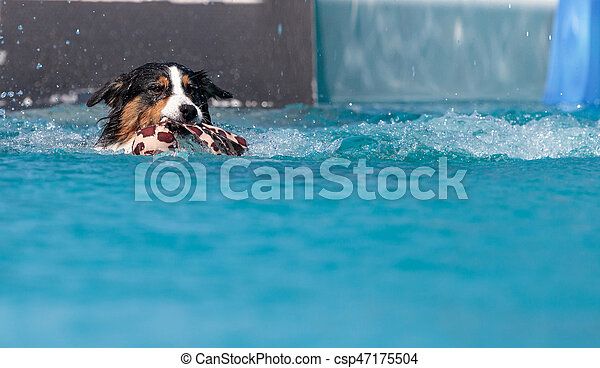 Border collie swims with a toy - csp47175504