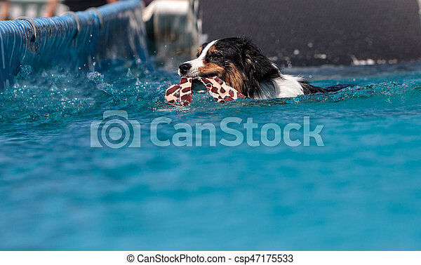 Border collie swims with a toy - csp47175533