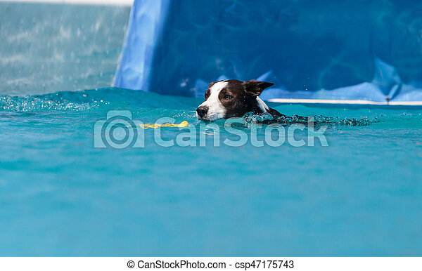 Border collie swims with a toy - csp47175743