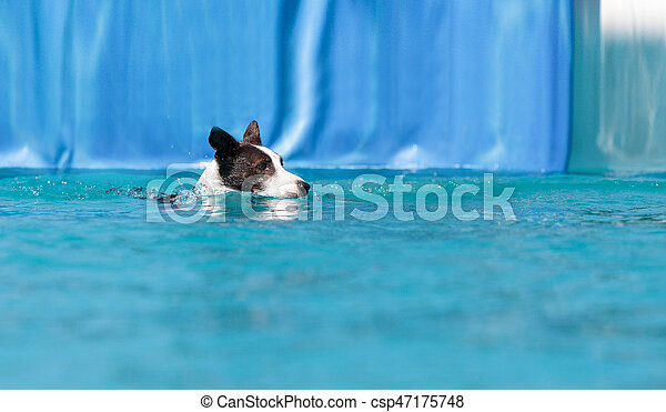 Border collie swims with a toy - csp47175748