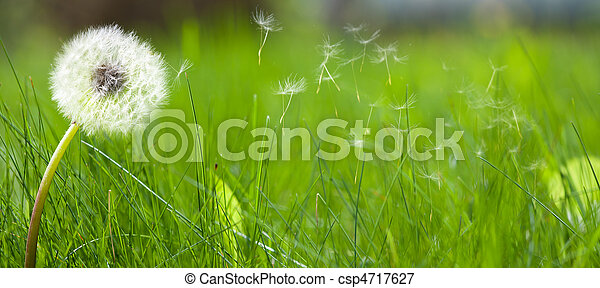 Beautiful white dandelion on a lawn - csp4717627