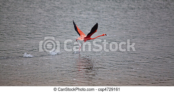 Flamingo right before takeoff at lake Gotomeer, Bonaire - csp4729161