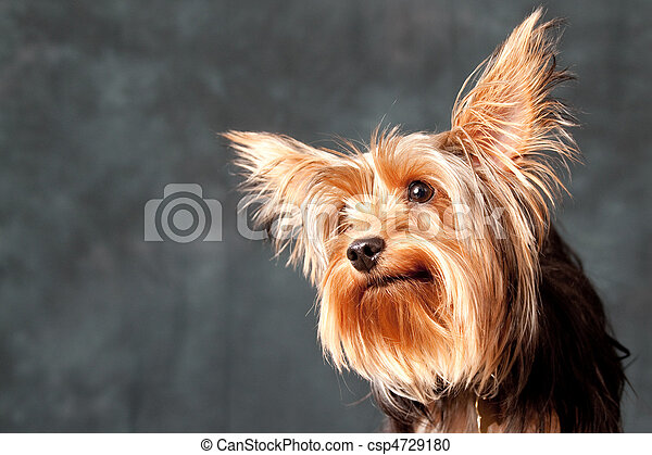 Yorkshire Terrier portrait - csp4729180