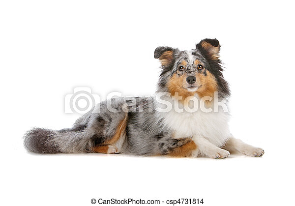 Shetland Sheepdog or sheltie - csp4731814