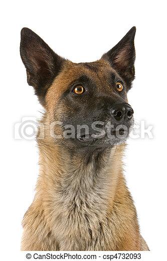Belgian Shepherd Dog - csp4732093