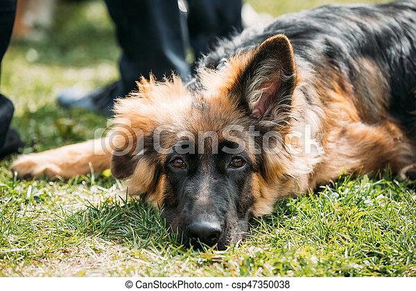 Beautiful Tired Small Young Black German Shepherd Puppy Dog Resting In Green Grass Near Owner. Alsatian Wolf Dog Or German Shepherd Dog Outdoor. Deutscher Dog.