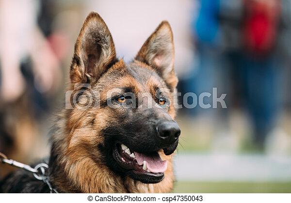 Beautiful Young Brown German Shepherd Dog Close Up. Alsatian Wolf Dog Or German Shepherd Dog. Deutscher Dog.