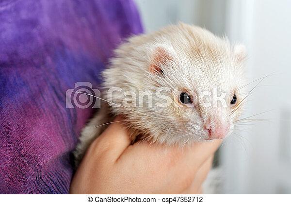 Cute red ferret - csp47352712