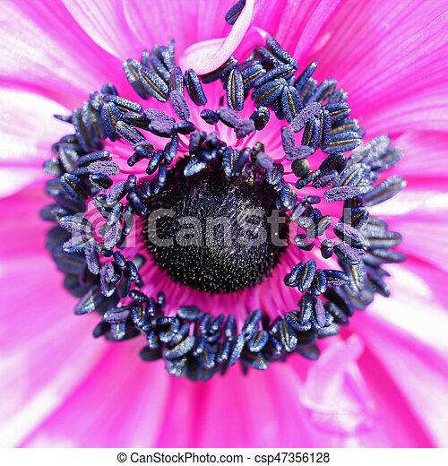 Pink Anemone flower - csp47356128