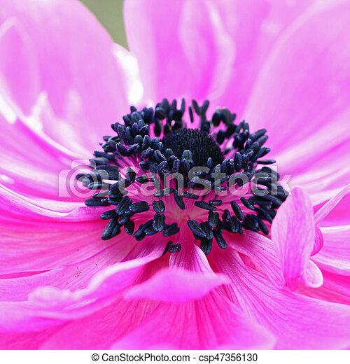 Pink Anemone flower - csp47356130