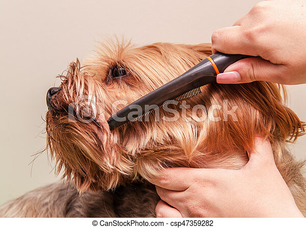 Yorkshire terrier combing and doing grooming, close-up